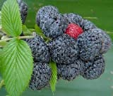 Rubus niveus - Mysore raspberry - 10 seeds Photo, new 2018, best price $4.60 review