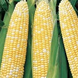 Serendipity Hybrid (Triplesweet) Corn Seeds Photo, new 2019, best price $5.25 review