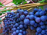 American Juice Table Grape 10 Seeds UPC 648620997661 + 1 Plant Marker Juice Jelly Grape Photo, new 2018, best price $4.99 review