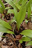 100/bag Ramp,Wild Leek Seeds (Allium tricoccum) Perennial,Considered by many to be the best tasting member of the onion family Photo, new 2018, best price $2.00 review