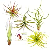 TDG Assorted Tillandsia Air Plants, Pack of 5, Large Photo, new 2020, best price $32.95 review