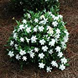 Brighter Blooms Dwarf Radicans Gardenia Live Potted Plant - Fragrant Flowering Dwarf Shrub with Citrus Scent Photo, new 2018, best price $59.99 review