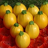 Kings Seeds - Courgette Floridor F1 - 15 Seeds Photo, new 2018, best price $3.20 review