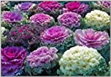ORNAMENTAL CABBAGE ~Mixed Colors~