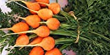 David's Garden Seeds Carrot Parisian PC7722 (Orange) 500 Non-GMO, Heirloom Seeds Photo, new 2019, best price $6.95 review