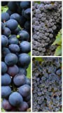 Homegrown Grape Seeds, 20 Seeds, Summer Royal Bunch Grape Vine Photo, new 2018, best price $5.45 review