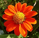 Mexican Sunflower Flower Seeds,100+ Premium Heirloom Seeds, (Tithonia rotundifolia), Isla's Garden Seeds, 90% Germination Rates, Highest Quality Seeds Photo, new 2020, best price $5.99 review