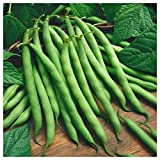 Everwilde Farms - 1 Lb Blue Lake Bush Green Bean Seeds - Gold Vault Photo, new 2020, best price $8.00 review
