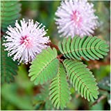 Package of 100 Seeds, Sensitive Plant