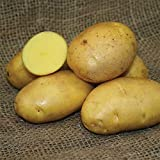 SEED POTATOES - 1 lb German Butterball * Organic Grown * Non GMO * Virus & Chemical Free * Ready for Spring Planting * Photo, new 2018, best price $11.29 review