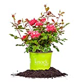 DOUBLE RED KNOCK OUT ROSE - Size: 1 Gallon, live plant, includes special blend fertilizer & planting guide Photo, new 2018, best price $45.78 review