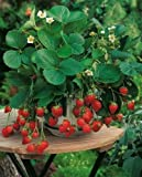 Rare Organic vegetables Heirloom Wild Strawberry seeds
