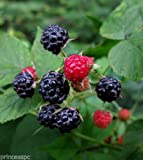 Wild Black Raspberry 1 year old Bush/shrub Edible Fruit Photo, new 2018, best price  review