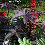 Outsidepride Castor Bean Gibsonii - 50 Seeds Photo, new 2019, best price $6.49 review