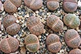 Lithops Living Stone 3