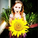 GIANT SUNFLOWER Seeds - HUGE Sunflowers 50+ Seeds Photo, new 2018, best price $2.85 review