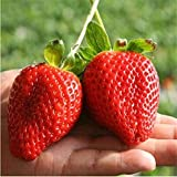 Giant Strawberry Seeds, PATHONOR 100Pcs Giant Red Strawberry Organic Seeds Garden Photo, new 2018, best price $3.99 review