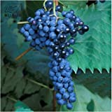 New and Fresh Frontenac Blue Grape Seeds - 100+ seeds Photo, new 2018, best price $10.35 review