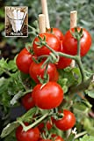 Summer Sweet Cherry Tomato (Organic) Tomato 150 Seeds By Jays Seeds Upc 650327337497 + 1 Free Plant Marker Photo, new 2018, best price $4.99 review