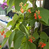 David's Garden Seeds Flower Scarlet Runner Bean OS100 (Red) 25 Heirloom Seeds Photo, new 2019, best price $8.45 review