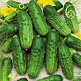 Pioneer Cucumber Seeds, 125+ Premium Heirloom Seeds, Gardeners Choice for pickling or fresh, (Isla's Garden Seeds), Non Gmo Organic Survival Seeds, 100% Pure, 90% Germination, Highest Quality! Photo, new 2019, best price $5.99 review