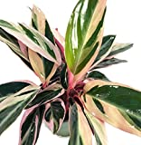 Tricolor Prayer Plant - Stromanthe triostar - Easy to Grow House Plant - 4