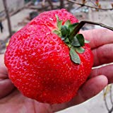 300/bag Giant Strawberry Fruit Seeds, Red Sweet Strawberry/Organic Garden Fruit, for Home Garden DIY Planting Photo, new 2019, best price $7.99 review