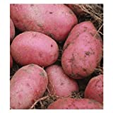 5 lb. SEED POTATOES - Red Pontiac - Organic - ORDER NOW for FALL PLANTING Photo, new 2019, best price $12.99 review
