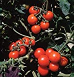 David's Garden Seeds Tomato Cherry Washington D764 (Red) 50 Organic Seeds Photo, new 2018, best price $8.49 review