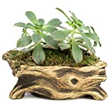 Natural Elements Log Planter (Branch) – Realistic woodland-themed with intricate weathered bark detail + Fiber Soil + moss mulch. Grow small succulents, cactus, African Violets. Striking in any décor. Photo, new 2018, best price $15.99 review