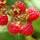 Heritage Red Raspberry Bush Seeds! SWEET! Photo, new 2018, best price $10.96 review
