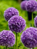 50 Pcs/bag, Purple Giant Allium Giganteum Beautiful Flower Seeds Garden Plant Gift Photo, new 2018, best price $1.00 review