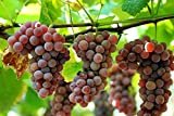 Organic Delaware Grape 10 Seeds UPC 648620997722 + 1 Plant Marker Best American Table Grape Photo, new 2018, best price $5.79 review