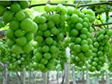 New Mixed 6 Types of Grape 15+ Seeds Photo, new 2019, best price $2.19 review