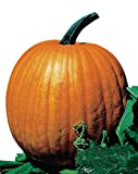 Burpee Connecticut Pumpkin Seeds 50 seeds Photo, new 2018, best price $7.69 review