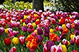 Extra Large Bulb Size - 50 Dutch Grown Tulip Bulbs - Mid-Spring Flowering - Fall Planting - Triumph Tulip - Mixed Colours Photo, new 2019, best price $24.99 review