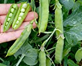 David's Garden Seeds Pea Wando SV1520B (Green) 100 Open Pollinated Seeds Photo, new 2018, best price $8.45 review