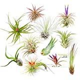 The Drunken Gnome Tillandsia Air Plants, Small (10-Pack Assorted) Photo, new 2017, best price $29.95 review