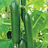 Mid-Eastern Beit Alpha Cucumber Seeds by Stonysoil Seed Company Photo, new 2019, best price $8.15 review