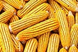 Bulk Corn Cobs for Wildlife Feeding (25 Pounds) Photo, new 2019, best price $35.99 review