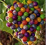 New Rainbow Grape Vine 50+ Seeds Photo, new 2019, best price $2.43 review