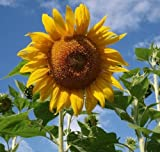 David's Garden Seeds Sunflower Mammoth Grey Stripe OS519 (Yellow) 50 Open Pollinated Seeds Photo, new 2018, best price $8.95 review