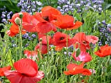 Red Corn Poppy Flower Seeds (Papaver Rhoeas), 0.5 OZ, 100,000+ Seeds by Seeds2Go Photo, new 2019, best price $5.58 review