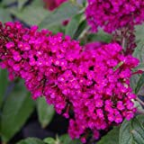 Buzz Hot Raspberry Butterfly Bush - 6-12