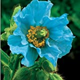 400 PERSIAN BLUE POPPY Papaver Somniferum Flower Seeds Photo, new 2018, best price $1.58 review