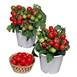 30+ ORGANICALLY Grown Dwarf Red Robin Tomato Seeds, Heirloom Non-GMO, Sweet, Low Acid, Determinate, Open-Pollinated, Delicious, from USA Photo, new 2019, best price $2.65 review