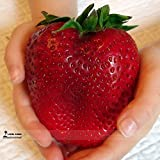 Rarest Heirloom Super Giant Japan Red Strawberry Organic Seeds, Professional Pack, 100 Seeds / Pack, Sweet Juicy Fruit Photo, new 2018, best price $10.00 review
