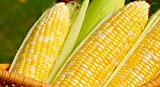 Peaches & Cream Sweet Corn Seeds, 1 Pound Photo, new 2019, best price $23.55 review