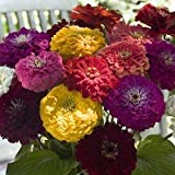 250 Giant California Zinnia Seeds/ Free Shipping Photo, new 2018, best price $1.39 review