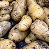 IDEA HIGH Sycamore Trading Seed Potatoes Charlotte x 20 Tubers Photo, new 2020, best price $22.07 review
